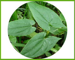 Epimedium-Extract-1.png